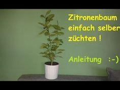 Schon Zitronenbaum Selber Ziehen   Exotische Pflanzen Züchten / Anleitung Zitr.