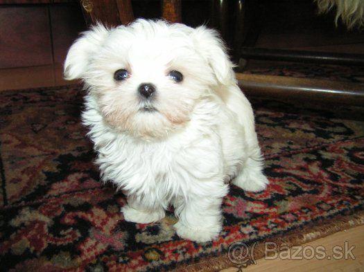 Maltézský psík - maltézáček - 1