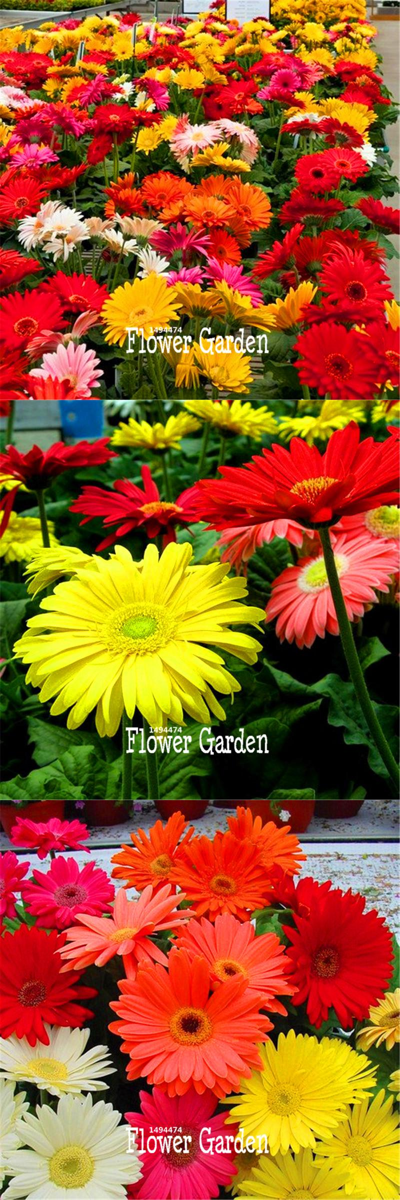 Visit To Buy 100 Pieces Pack Lowest Price Gerbera Daisy Hybrids Mix Flower Seeds Bonsai Plants Easy To Grow Seeds F Flower Seeds Bonsai Plants Growing Seeds
