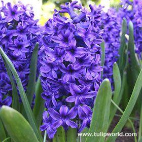 Blue Hyacinth. One of my favorite Spring Flowers.