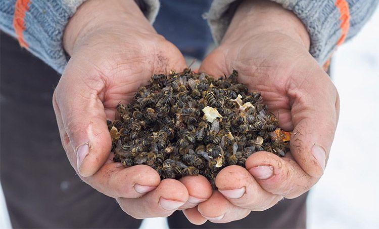 Лечение пчелиным подмором при простатите какими свечами лечится при простатите