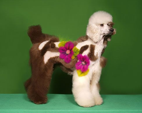 When Poodles Turn Into Peacocks Funny Dog Images Dog Grooming Dog Haircuts