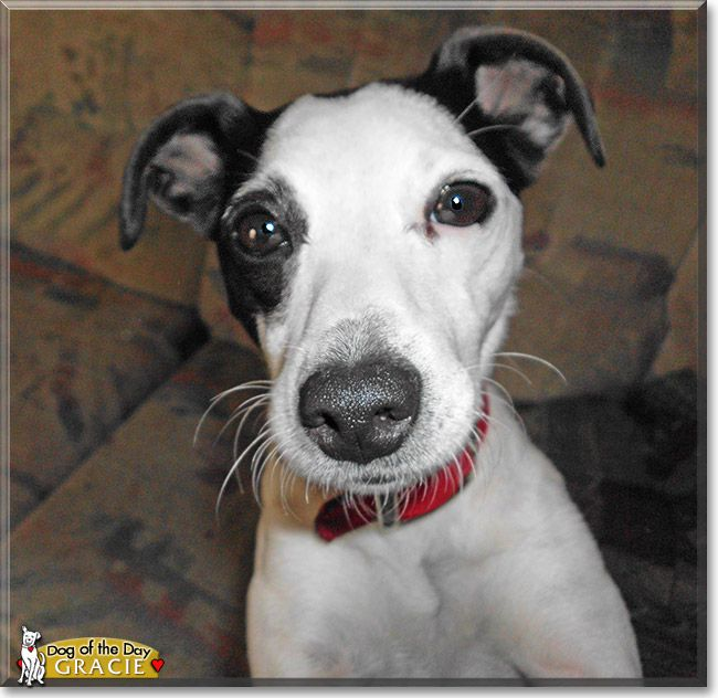 Read Gracie's story the Jack Russel Terrier from Springfield and see her photos at Dog of the Day http://DogoftheDay.com/archive/2014/April/04.html .