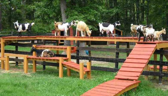 Build A Structure For Goat Kids To Play On This Is