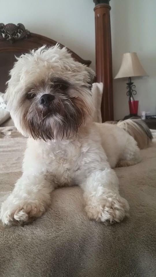 Shih Tzu Dog For Adoption In Dallas Tx Adn 521355 On Puppyfinder Com Gender Male Age Adult Dog Adoption Shih Tzu Dog