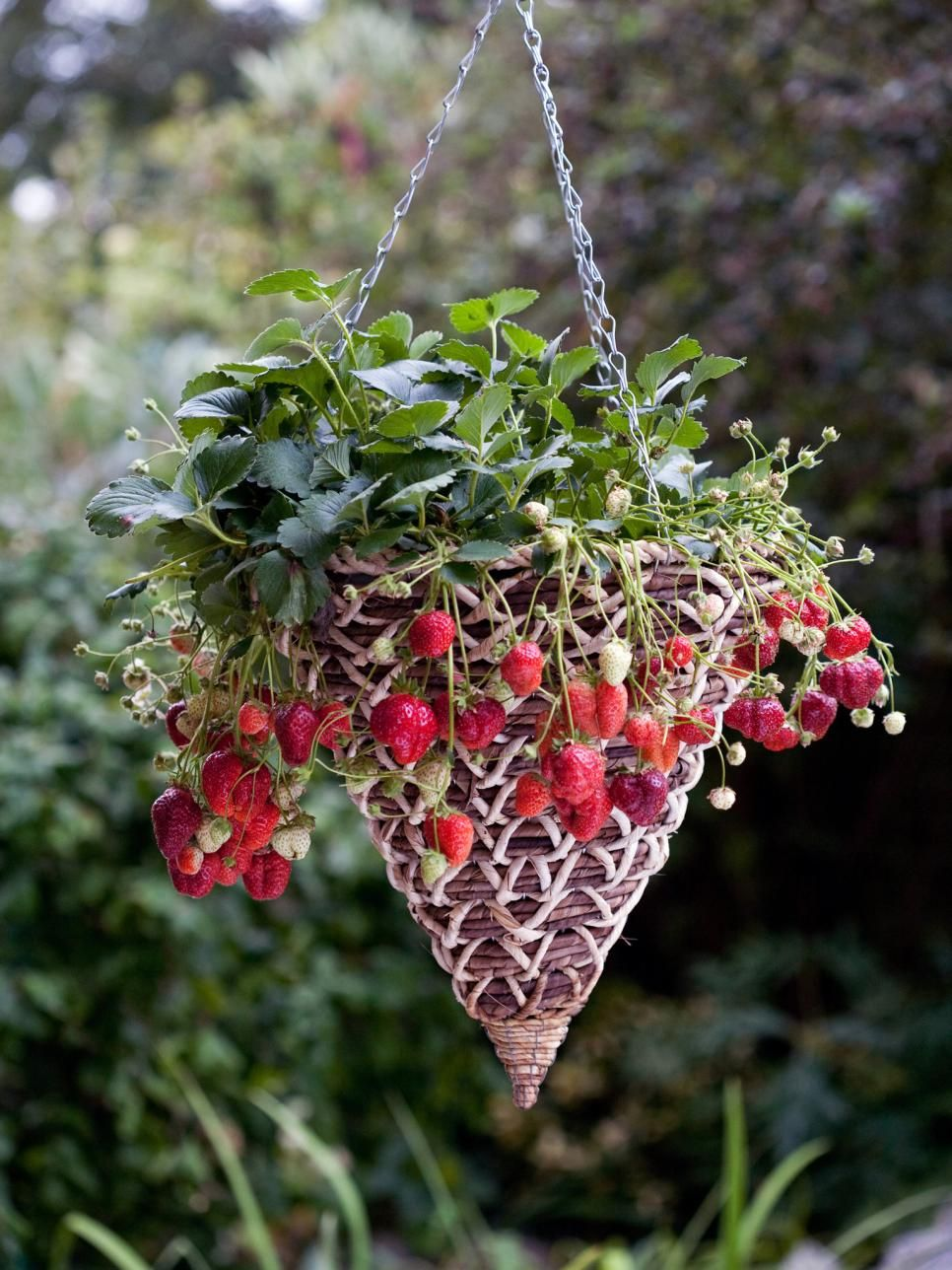 Hanging Berry Basket Plant A Traditional Wicker Cone 400 x 300