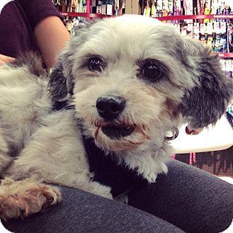 New York Ny Shih Tzu Meet Linda A Dog For Adoption Http Www Adoptapet Com Pet 15802643 New York New York Shih Tzu Dog Adoption Pets Pet Adoption