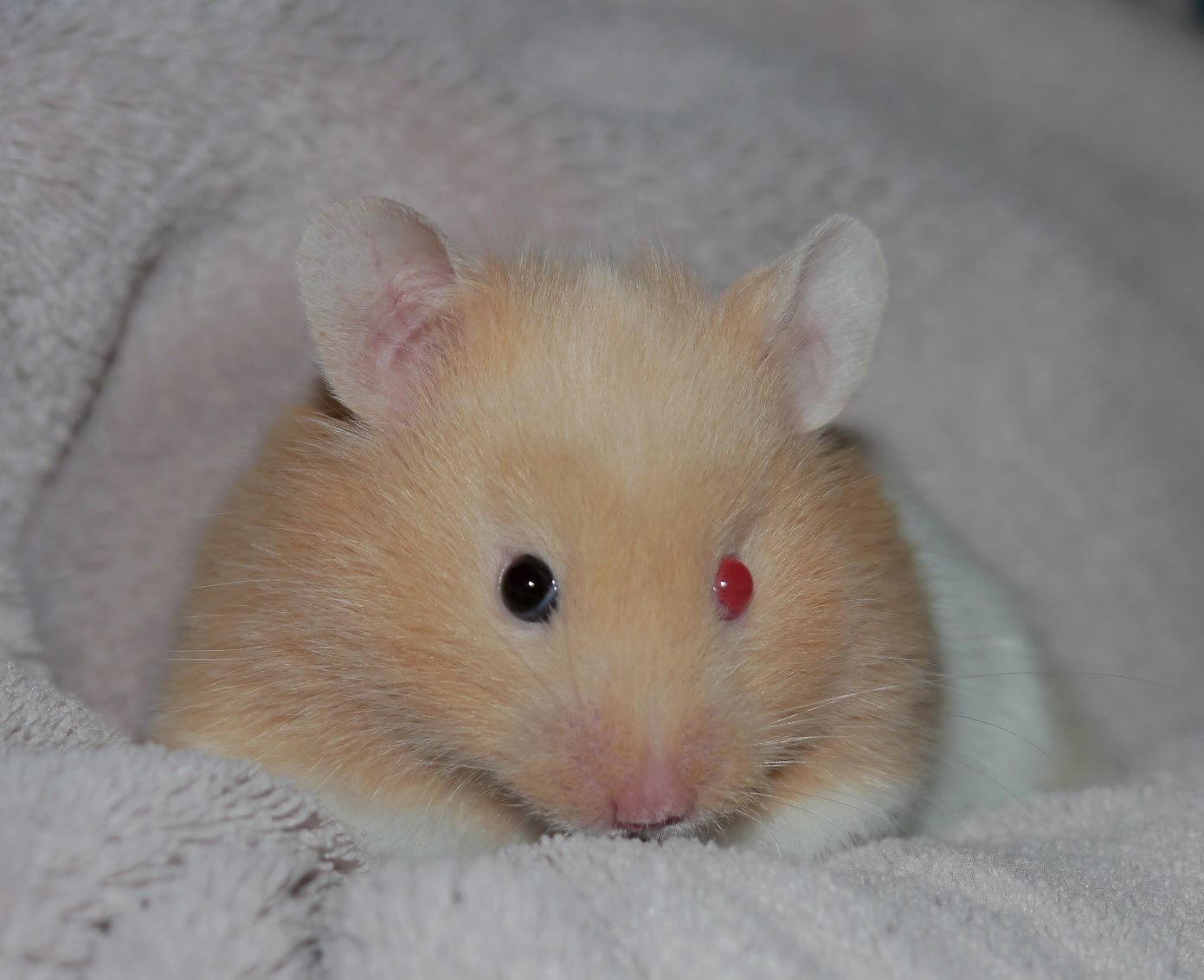 Red Eyed Cream Banded With Odd Eyes Syrian Hamster Hamster Animals