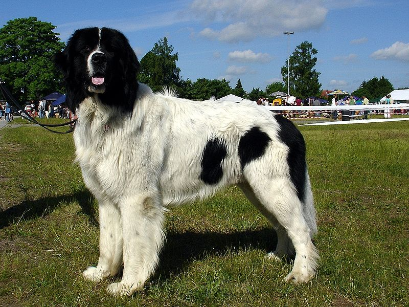 The Landseer Newfoundland dog is known for its sweet disposition, gentleness, and serenity. They enjoy swimming, and tend to drool, though not as much as some other giant breeds. Is also sweet, affectionate and enjoys swimming.