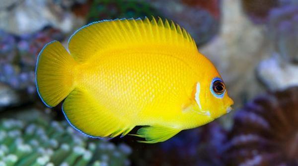Buy Lemonpeel Angel Online Saltwater Aquarium Fish And Coral Vivid Aquariums Fish Alkaline Diet Angel Fish