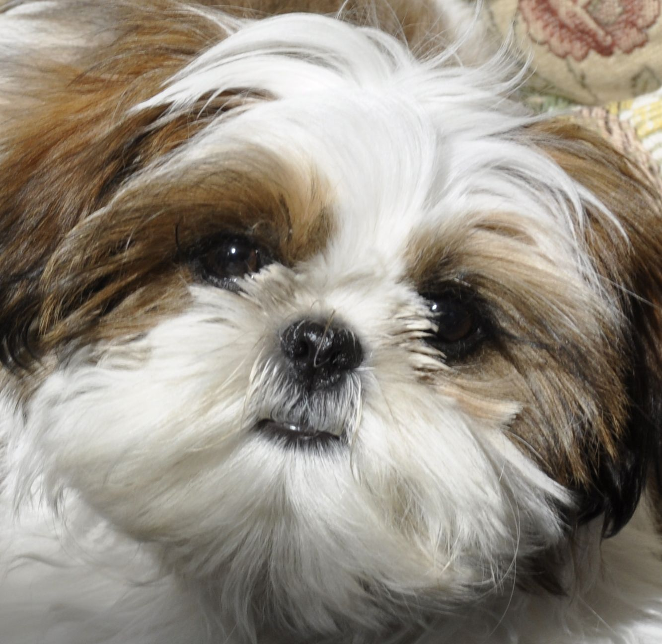 shih tzu | learn more about the shih tzu here http en