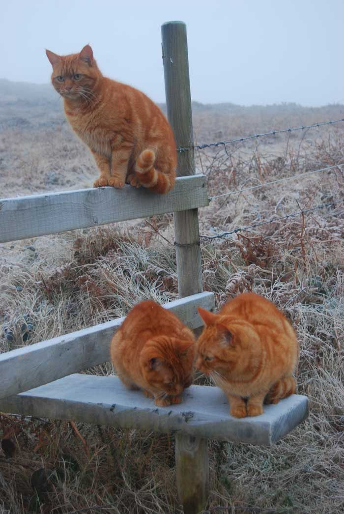 We Three, Ginger cats tales - Orange tabby cats