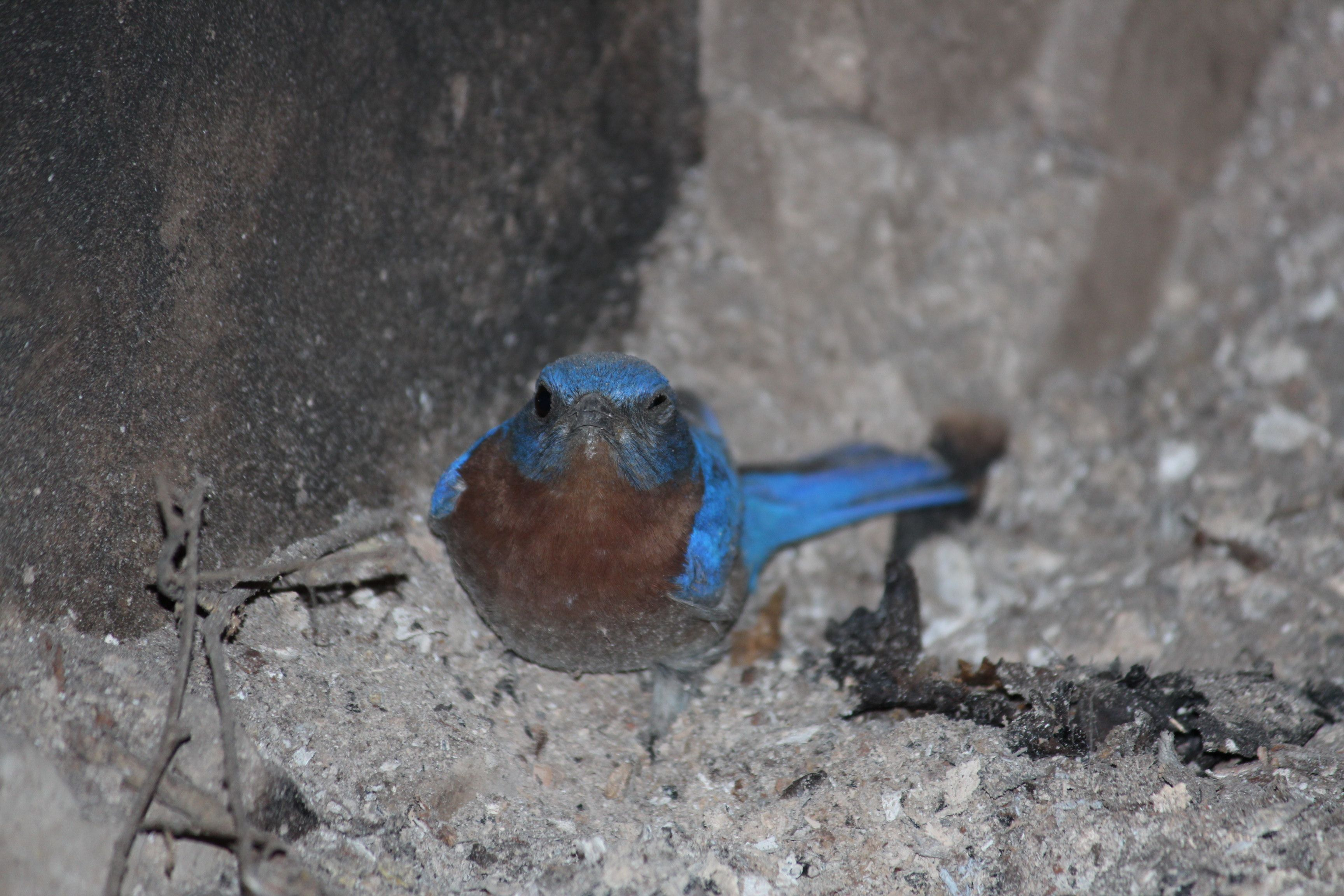 This sweet American Bluebird managed to find his way into my wood stove INSIDE MY HOUSE.  Luckily we were able to rescue him and set him free to go help tend to the babies in the bluebird box.