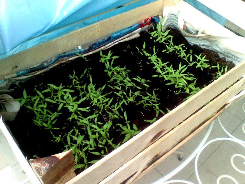 Orto sul terrazzo. Pomodori 2012 - direttamente dal seme. / Garden on the terrace. Tomatoes 2012 - directly from the seed.