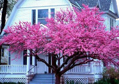 Pin By Jane Ekins On Plants In 2020 Redbud Tree Eastern Redbud Street Trees
