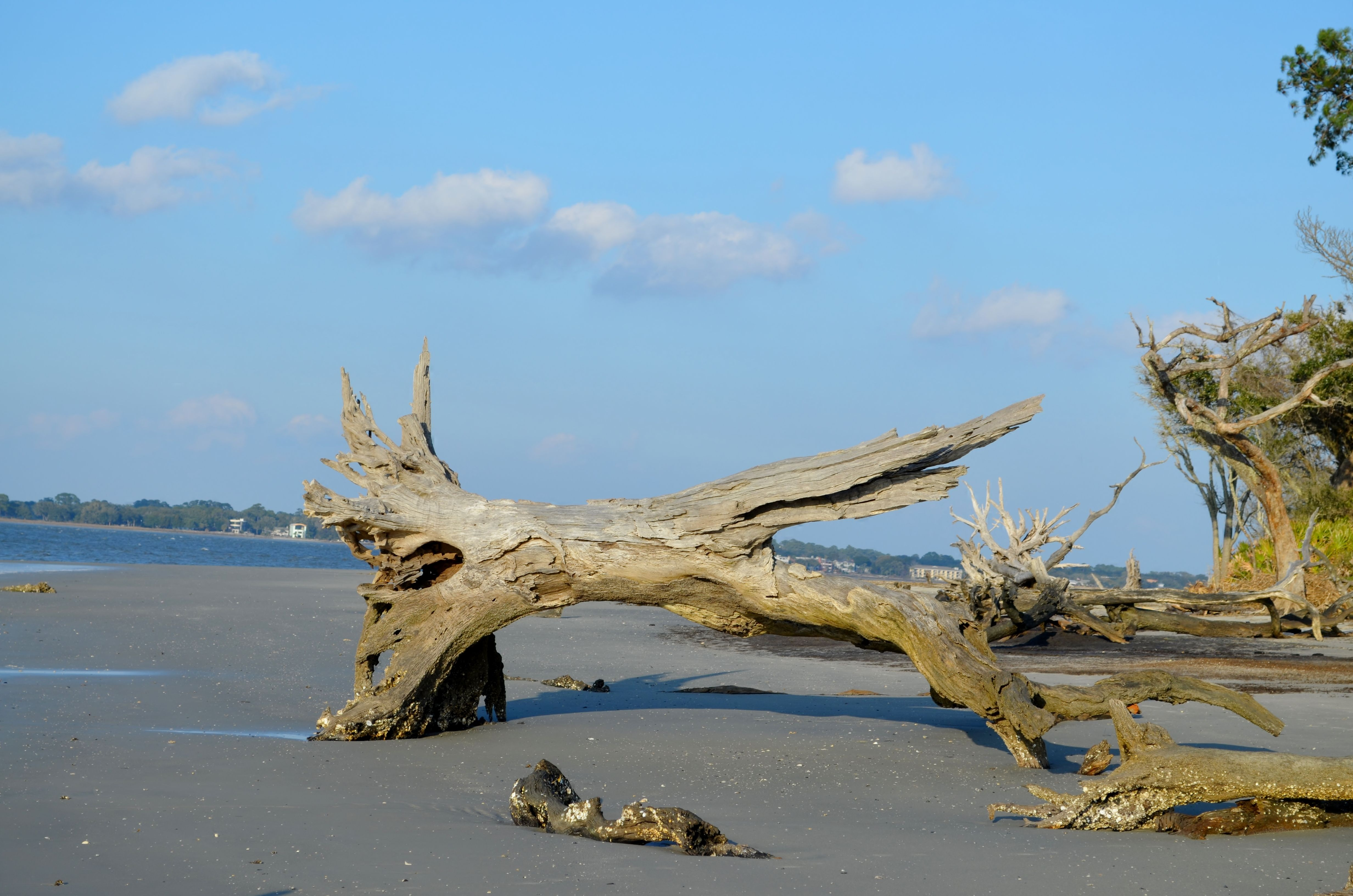 Driftwood beach at jekyll island 42713