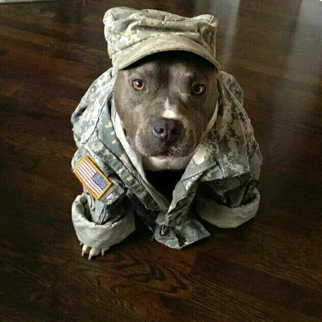Download Pit Bull Army Adorable Dog - bb95b131465e9829702b323cc6a577ec  Perfect Image Reference_43784  .jpg