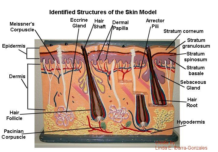 Skin Gland | ... model of skin and identify the structures ...