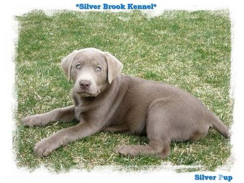 Akc Silver Labrador Retriever Puppies Labrador Retriever Silver Labrador Retriever Puppies