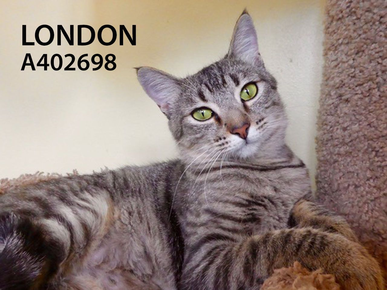 London Calling And You Will Be So Happy If You Answer This Not Quite An Adult And Still Very Kittenish 1 Year Old Beauty With Images Cat Adoption Pets Cats And Kittens
