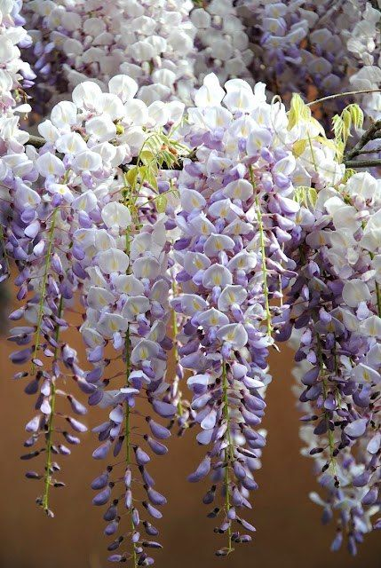 Wisteria Cut Back Snippy Shoots To 5 Buds In August Cut Back To 2 Shoots In January Wisteria Flowers Nature Beautiful Flowers