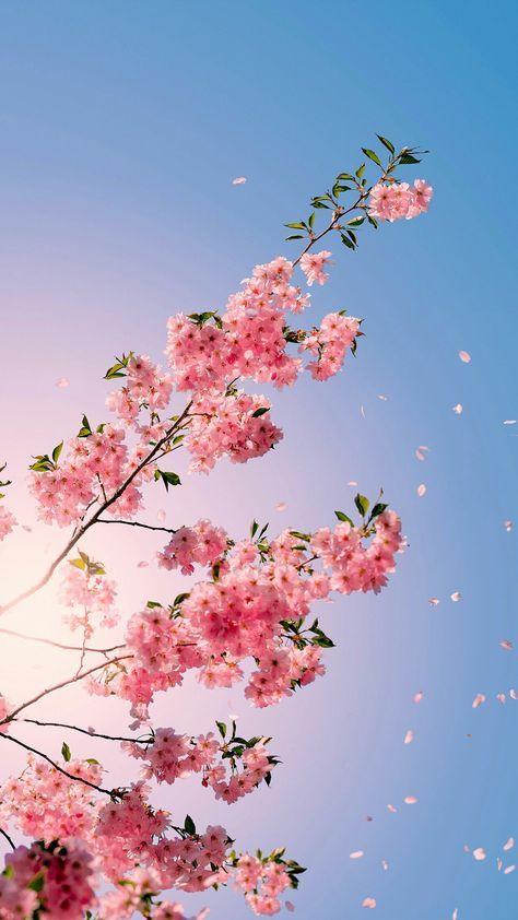 Wallpaper celular flores de cerezo 42+  ideas