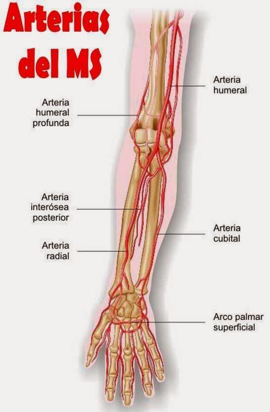 Irrigacion del miembro superior | Anatomia - Miembros ...