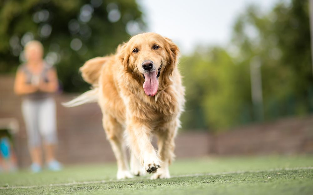 5 Fun Facts About Golden Retrievers Loyal Dog Breeds Dogs