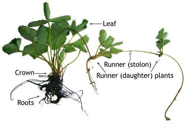 diagram showing parts of strawberry plant gardening ideas rh pinterest com Plant Root Diagram Cambiums Plant Clip Arts Diagram