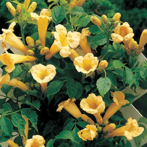 Yellow trumpet vine campsis radicans f flava sun part shade campsis yellow trumpet vine mightylinksfo Image collections