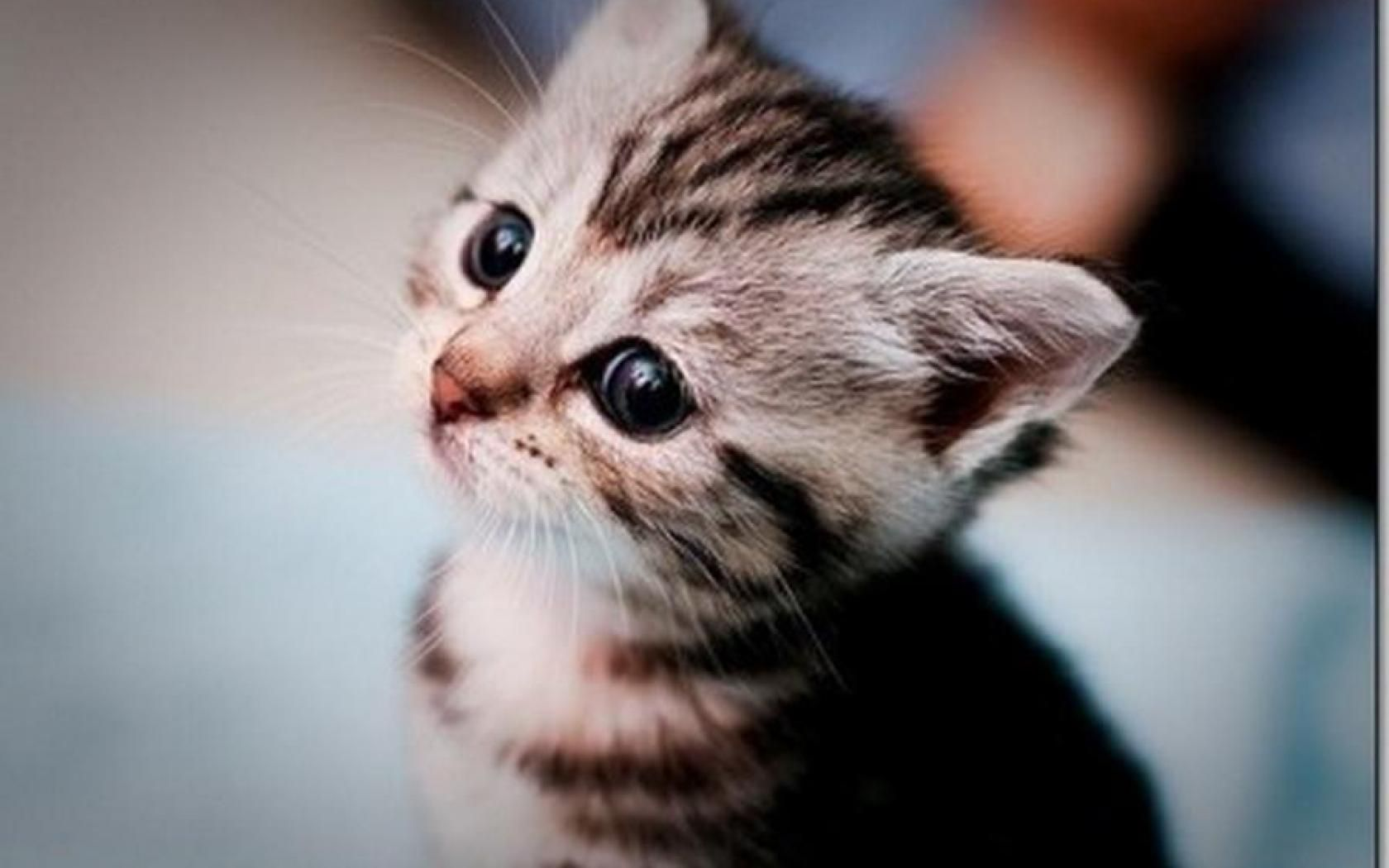 CUTE KITTEN WALLPAPER HD Wallpapers [wallpapersinhq