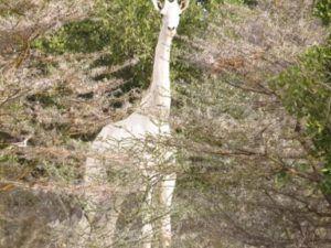 Divisan una jirafa blanca en Kenia