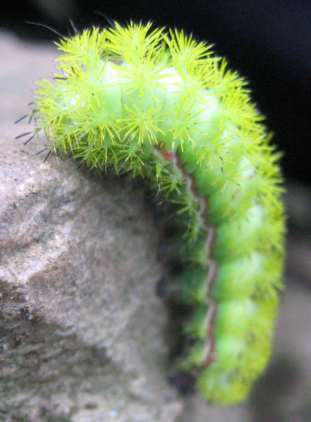 10 Of The World S Spikiest Living Things What On Earth Io Moth Moth Caterpillar Fuzzy Caterpillar