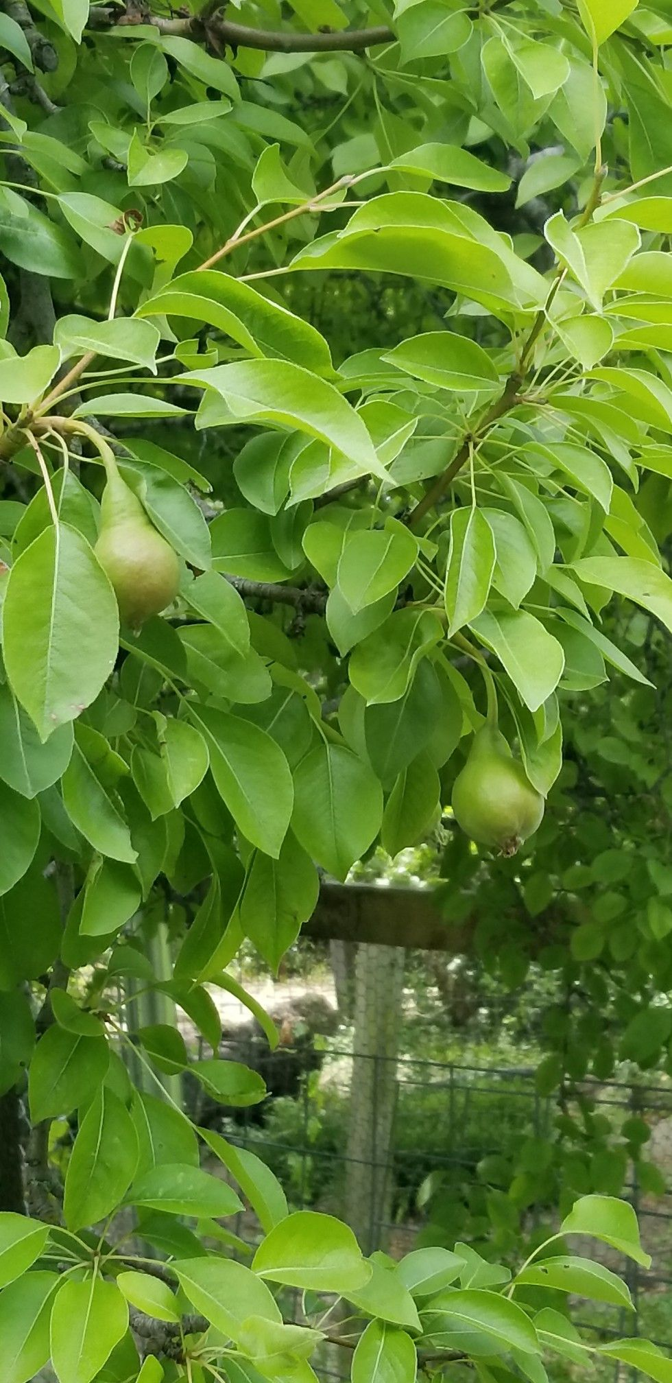 The Pears Are Looking Good