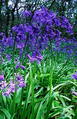 Bluebells - Mum loves bluebells. She has a number of bluebell wood paintings and loves to visit the local bluebell woods when they are in bloom.