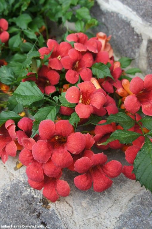 campsis radicans flamenco vines pinterest campsis. Black Bedroom Furniture Sets. Home Design Ideas