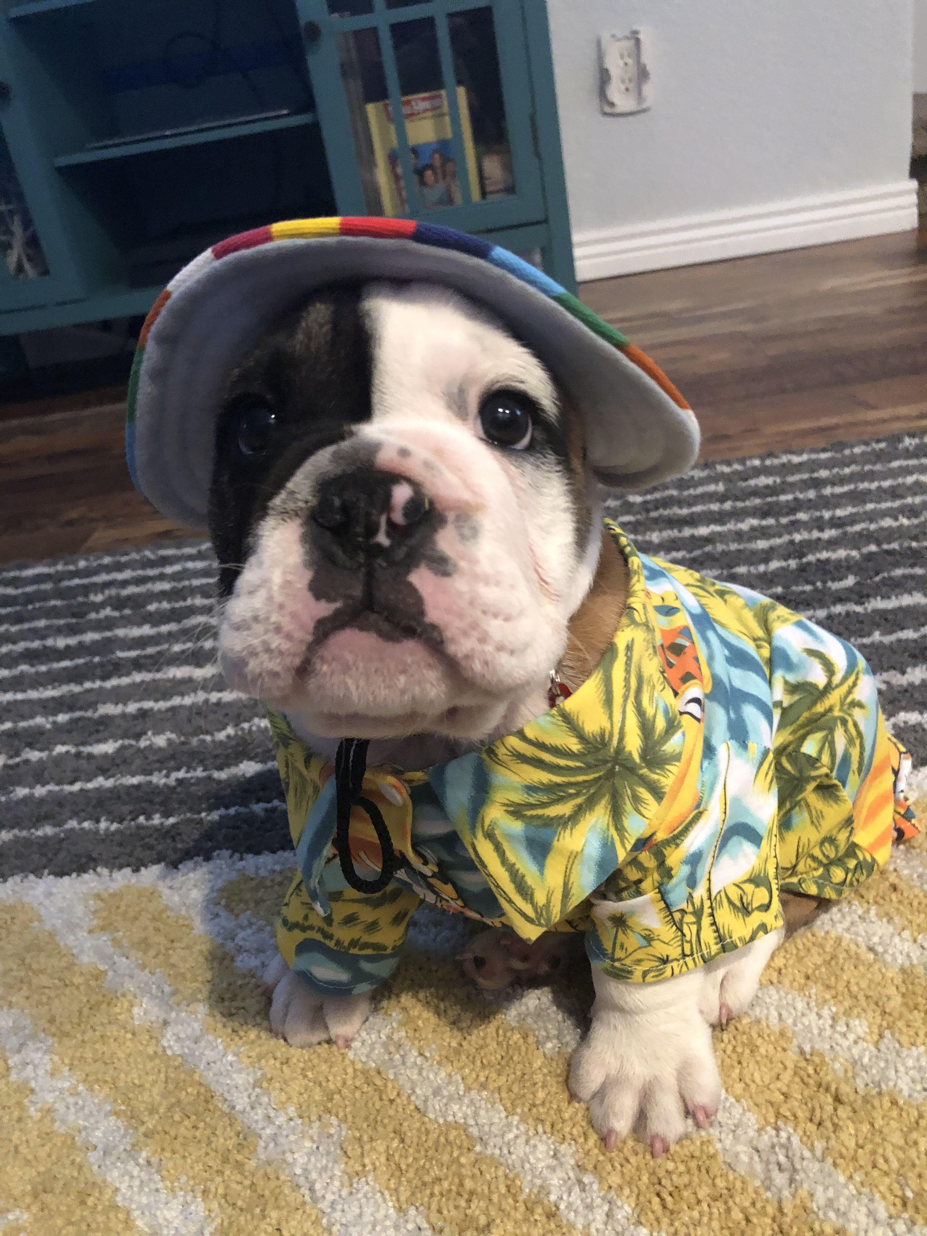 My Buddy Pudge The French Bulldog Puppy Bulldog