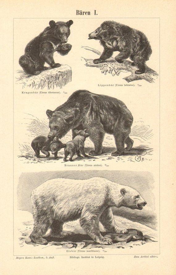 Bear bb asian