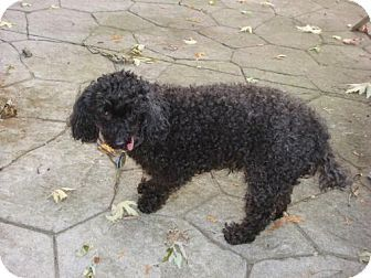 Name/Tag#: Jodi 1043 Age: 13+ years Sex/Altered: Female/ Spayed Weight: 16 lbs Breed: Miniature Poodle Foster Home Location: LONDON, ON Adoption Fee: $350.00 Temperament: Sweet natured but afraid of humans Activity/Energy Level: Active as much as her handicap allows her to be Up to date on Shots: Housebroken: Yes Crate Trained: No, no need for one Ok with Dogs: Yes Ok with Cats: Untested, but probably Ok with Kids: No kids please, too timid Origin: Puppy mill breeder dog