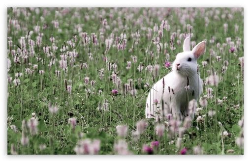 Rabbit In Flower Field Wallpaper Field Wallpaper Rabbit Wallpaper Animals