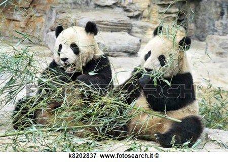 panda, orsi, in, beijing, porcellana Visualizza immagine ingrandita
