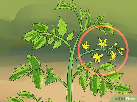 Image titled Prune Tomatoes Step 4