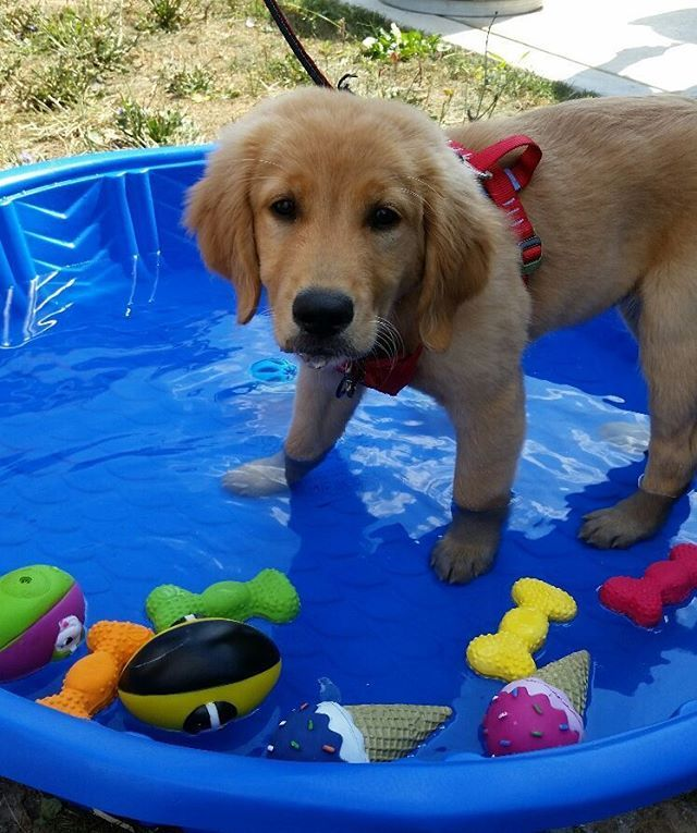Cutecustomeralert Our Cutecustomeralerts Know How To Beat The Heat And Stay Pet Valu Pets Golden Retriever Instagram Posts