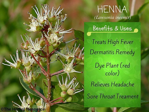 Henna Health Benefits Uses And Side Effects Herbs Medicinal