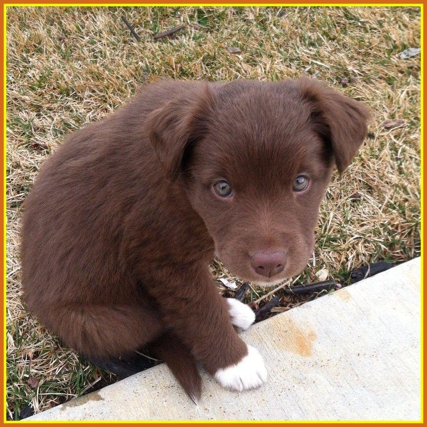 Borador Pup Puppy Mix Chocolate Lab Puppies Collie Puppies