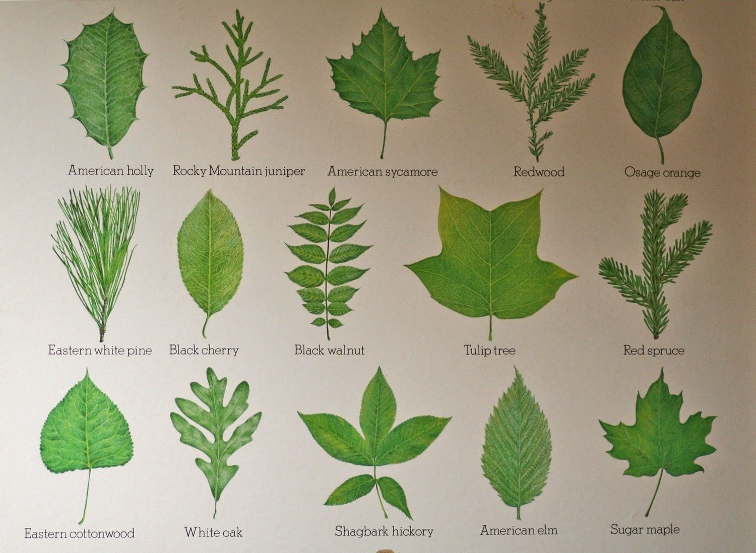 Tree Leaves Tree Identification Flower Chart Nature Inspiration