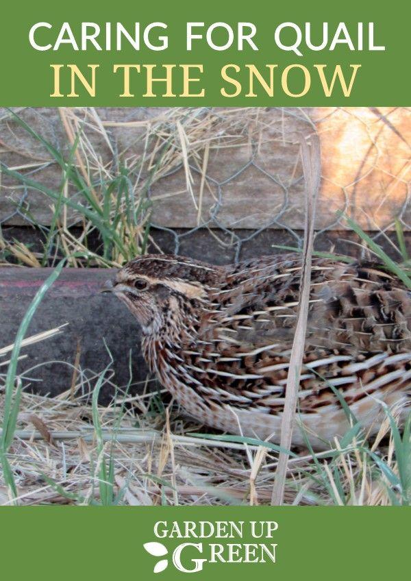 Raising Quail in the Snow | Raising quail, Quail, Chickens ...