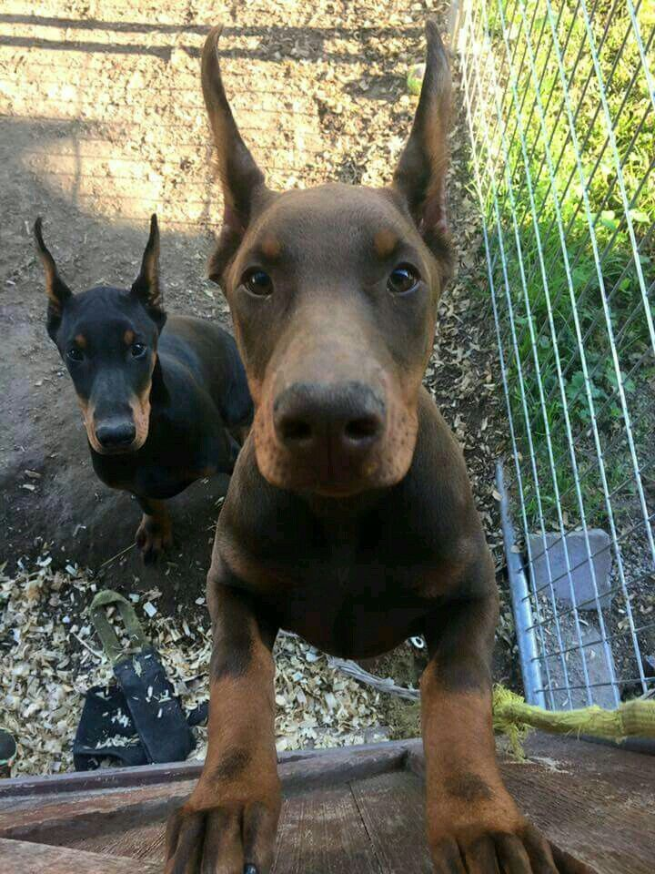 Dobie Pups Are Adorable Doberman Pinscher Puppy Doberman