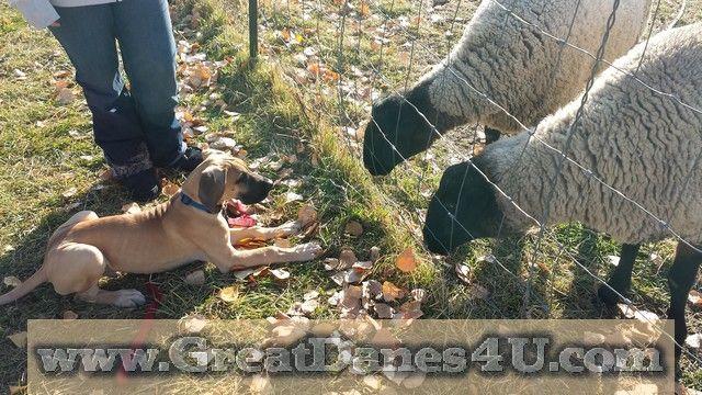 Achilles A Fawn Male Great Dane In Salt Lake City Ut Baaa
