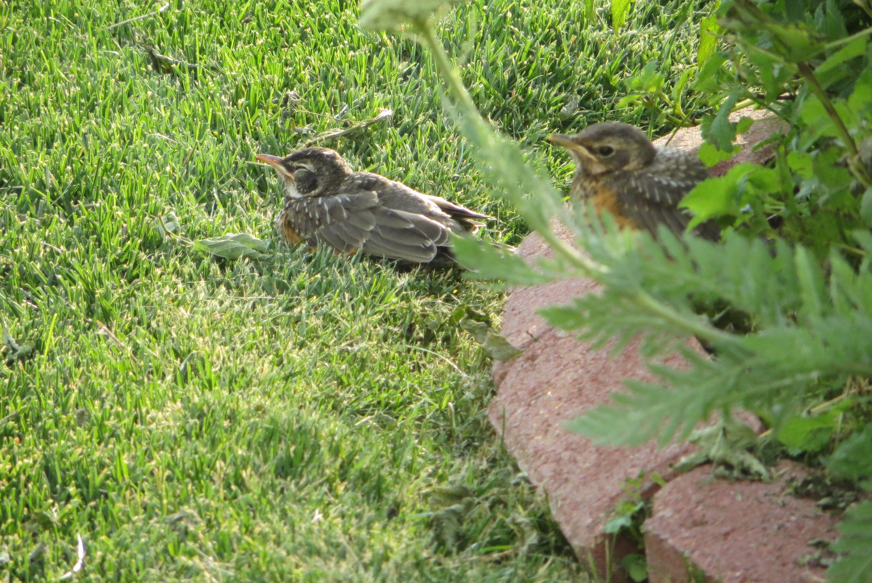 2 fledgling robins chillin in my yard